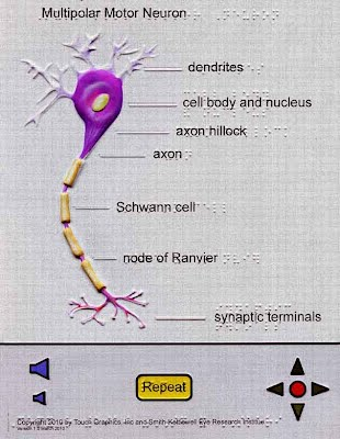 Image of Audio-tactile motor neuron